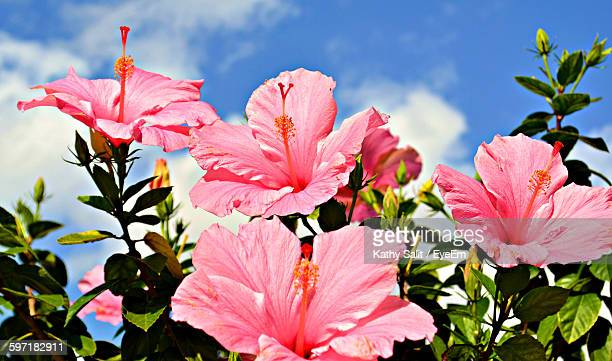 Low Angle View Of Pink Hibiscus Flowers Blooming Against Sky