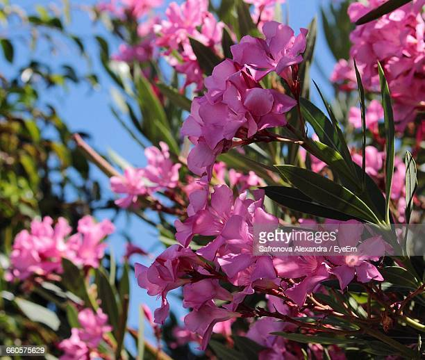 Oleander stock photos and pictures getty images low angle view of pink oleander flowers mightylinksfo
