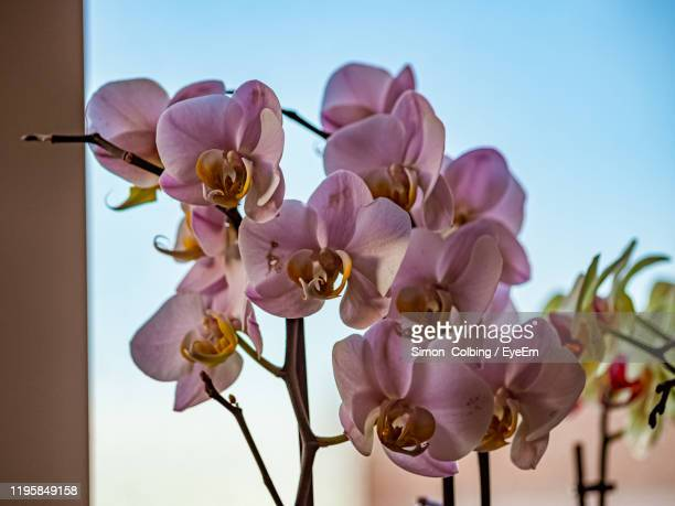 low angle view of pink orchids against sky - colbing stock pictures, royalty-free photos & images