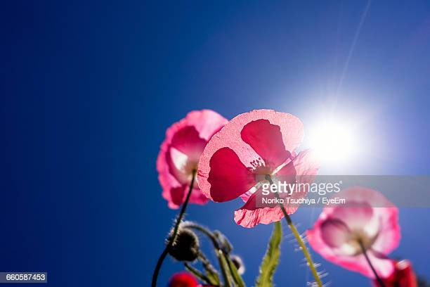 Low Angle View Of Pink Poppy Flowers Against Blue Sky