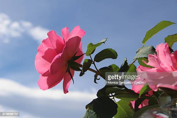 Low Angle View Of Pink Rose Blooming Against Sky