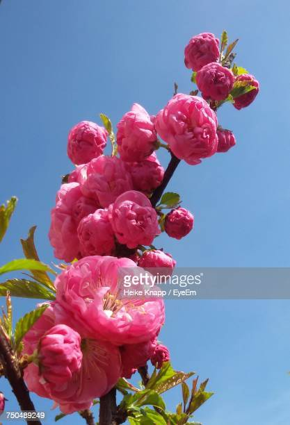 Low Angle View Of Pink Roses Blooming Against Clear Sky