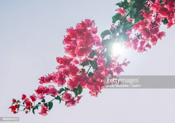 Low Angle View Of Pink Tree Against White Background