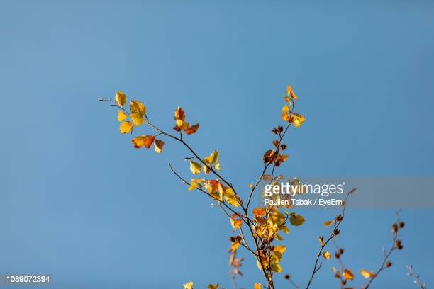 low angle view of plant against clear blue sky - paulien tabak 個照片及圖片檔