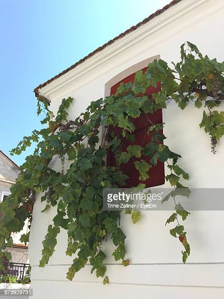 Low Angle View Of Plant Growing On House Against Clear Blue Sky