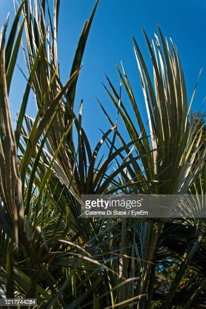low angle view of plants against clear blue sky - san miniato stock pictures, royalty-free photos & images