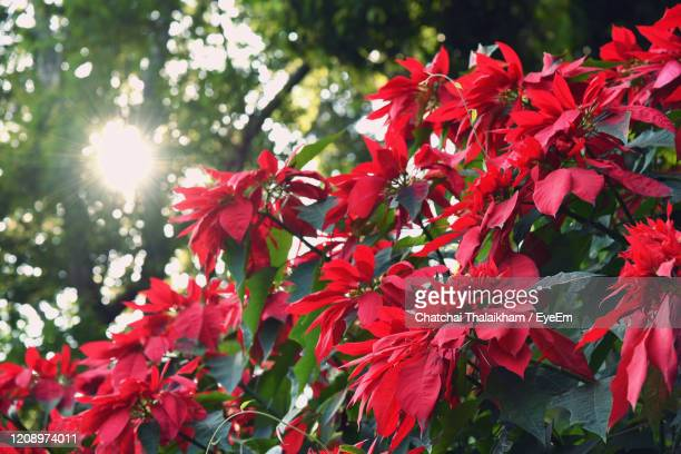 low angle view of poinsettia flowering plant - chatchai thalaikham stock pictures, royalty-free photos & images