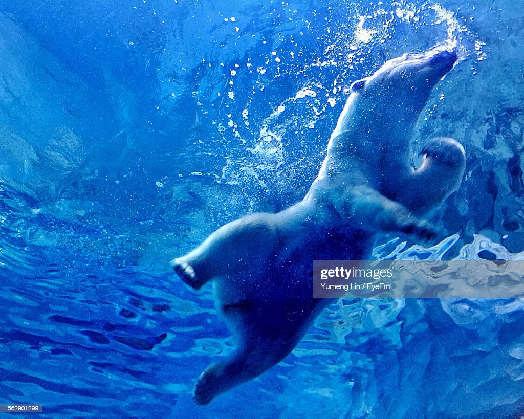 Low Angle View Of Polar Bear Swimming Underwater At
