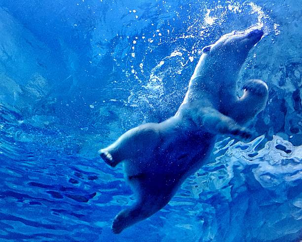 Low Angle View Of Polar Bear Swimming Underwater At Chime-Long Ocean Kingdom Wall Art
