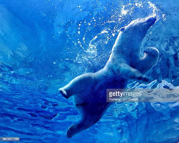Low Angle View Of Polar Bear Swimming Underwater At Chime-Long Ocean Kingdom