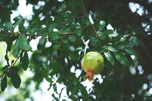 low angle view of pomegranate growing on tree - pomegranate tree stock photos and pictures