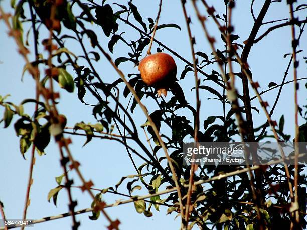 Low Angle View Of Pomegranate On Tree Against Sky