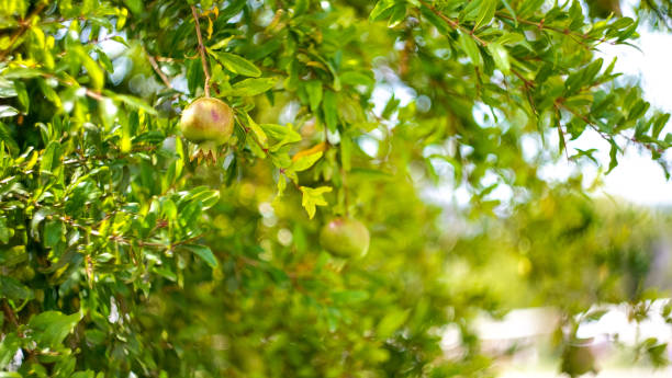 low angle view of pomegranate tree - pomegranate tree stock photos and pictures