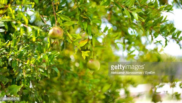 Low Angle View Of Pomegranate Tree