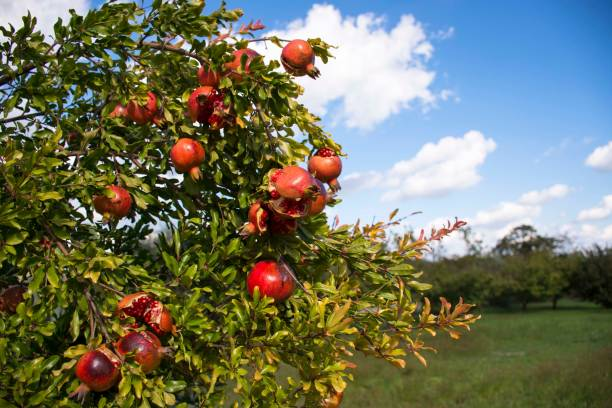 low angle view of pomegranates growing on tree - pomegranate tree stock photos and pictures