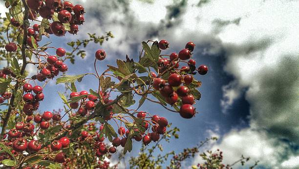 low angle view of pomegranates on tree against cloudy sky - pomegranate tree stock photos and pictures