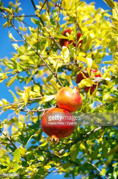 Low Angle View Of Pomegranates On Tree