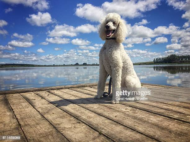low angle view of poodle on pier by lake against cloudy sky - poodle stock pictures, royalty-free photos & images