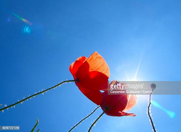 Low Angle View Of Poppies Blooming Against Bright Sky
