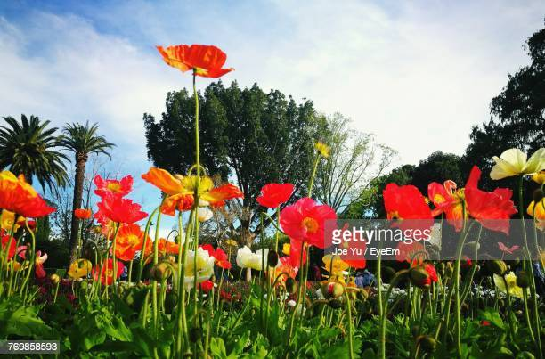 Low Angle View Of Poppies Blooming On Field Against Sky