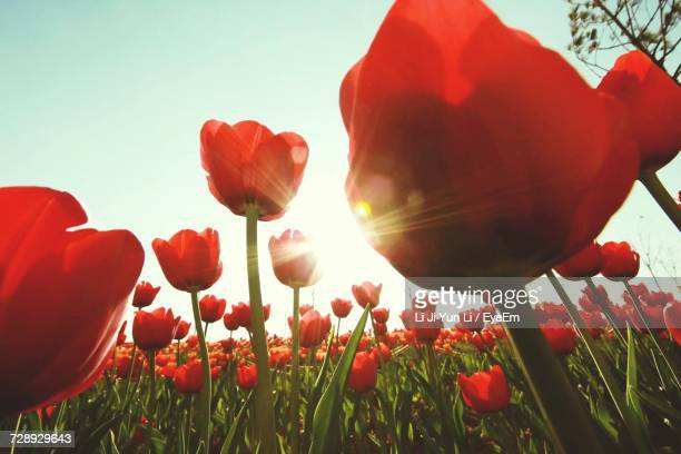 Low Angle View Of Poppies Growing In Field Against Clear Sky
