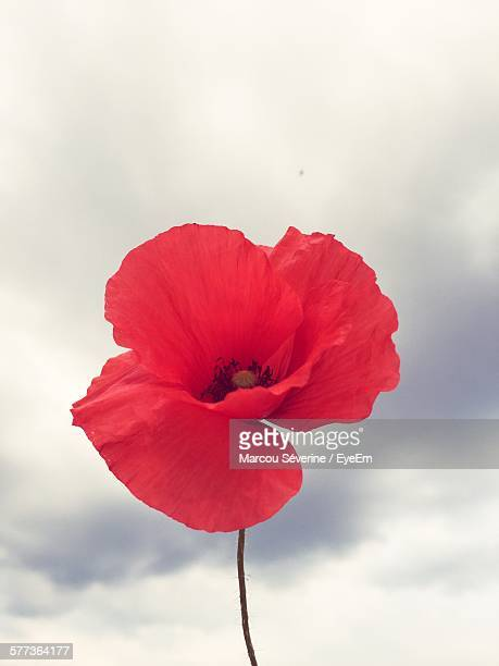 Low Angle View Of Poppy Flower Blooming Against Cloudy Sky