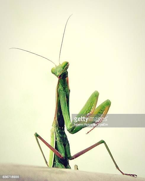 low angle view of praying mantis against clear sky - noemi foto e immagini stock