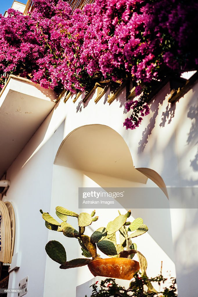 Low angle view of prickly pear cactus and bougainvillea at whitewashed building : Stock Photo
