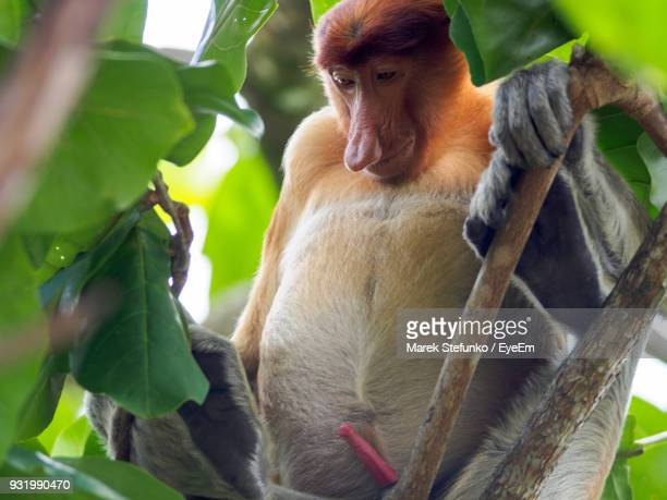 low angle view of proboscis monkey on branch - marek stefunko stock photos and pictures
