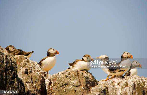 low angle view of puffin birds perching on rock against sky - medium group of animals stock pictures, royalty-free photos & images