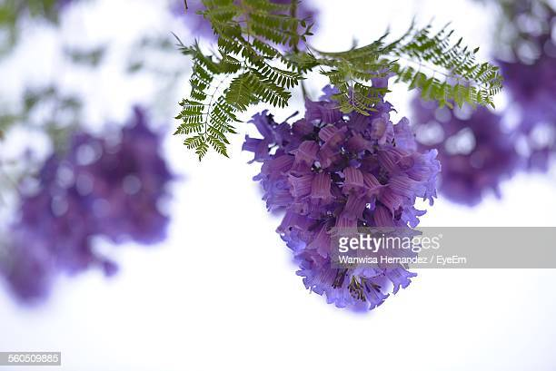 Low Angle View Of Purple Jacaranda Flowers