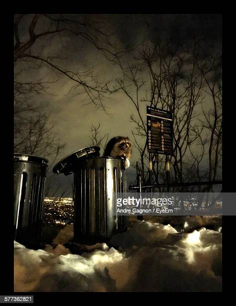 low angle view of raccoon in garbage bin at night - chilly bin stock photos and pictures