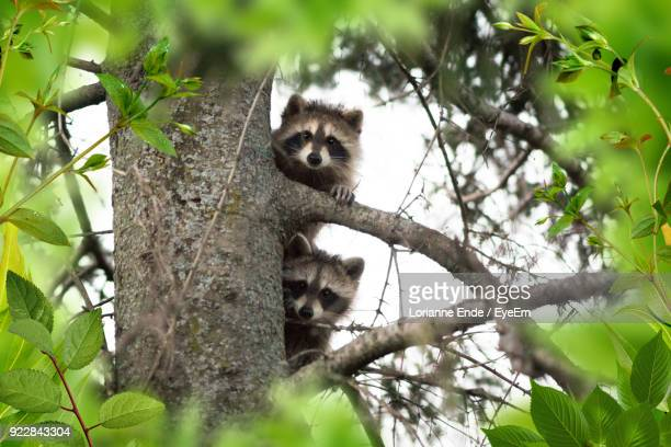 low angle view of raccoons sitting on tree - raccoon stock pictures, royalty-free photos & images