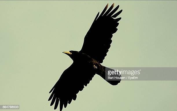 Low Angle View Of Raven Flying In Clear Sky
