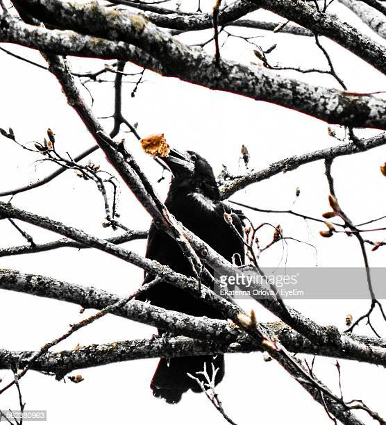 Low Angle View Of Raven Perching On Branch