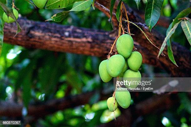 Low Angle View Of Raw Mangoes Growing Outdoors