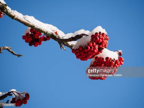 Low Angle View Of Red Berries Against Clear Sky