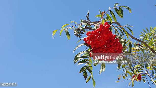 low angle view of red currants growing on tree against clear sky during sunny day - campbell downie stock pictures, royalty-free photos & images