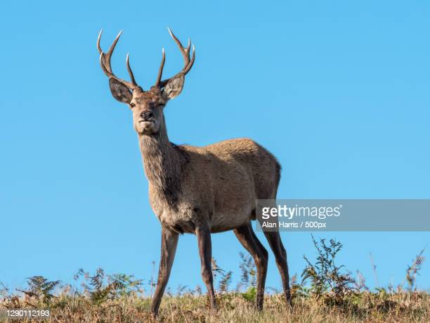 low angle view of red deer - animal standing on field against clear blue sky,leicestershire,united kingdom,uk - deer stock pictures, royalty-free photos & images