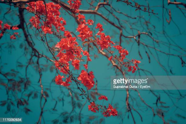 low angle view of red flowering plant - west bengal stock pictures, royalty-free photos & images