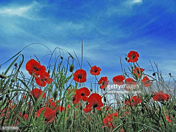 Low Angle View Of Red Flowers Against Blue Sky