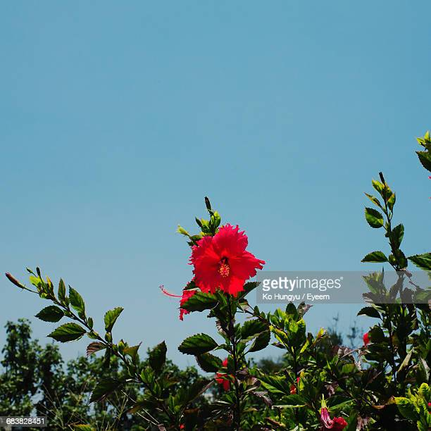 Low Angle View Of Red Hibiscus Against Clear Sky On Sunny Day