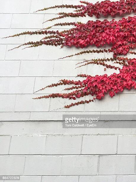 Low Angle View Of Red Ivy Plants Against White Brick Wall During Autumn