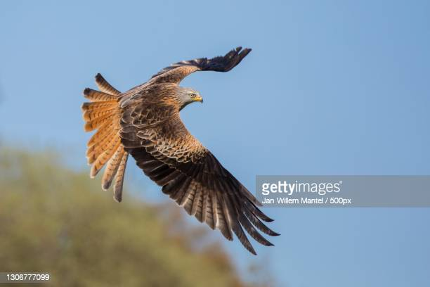 low angle view of red kite of prey flying against clear sky,ceredigion,wales,united kingdom,uk - flying stock pictures, royalty-free photos & images