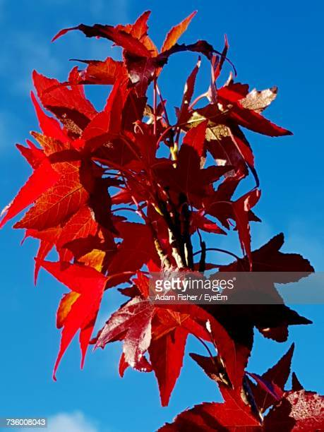 low angle view of red maple tree against blue sky - adam rippon 2016 stock pictures, royalty-free photos & images