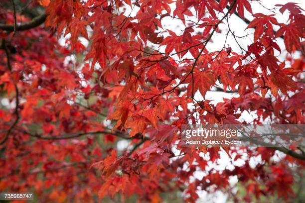 low angle view of red maple trees during autumn - adam rippon 2016 stock pictures, royalty-free photos & images