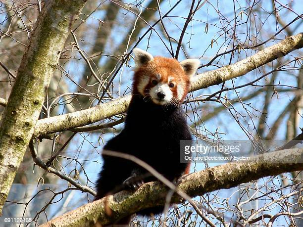 Low Angle View Of Red Panda Sitting On Branch