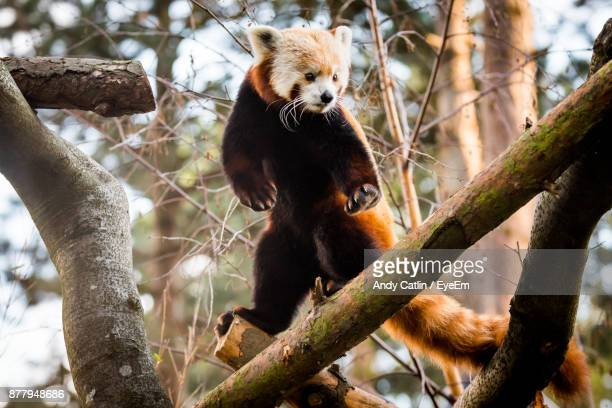 low angle view of red panda standing on branch - red panda stock pictures, royalty-free photos & images