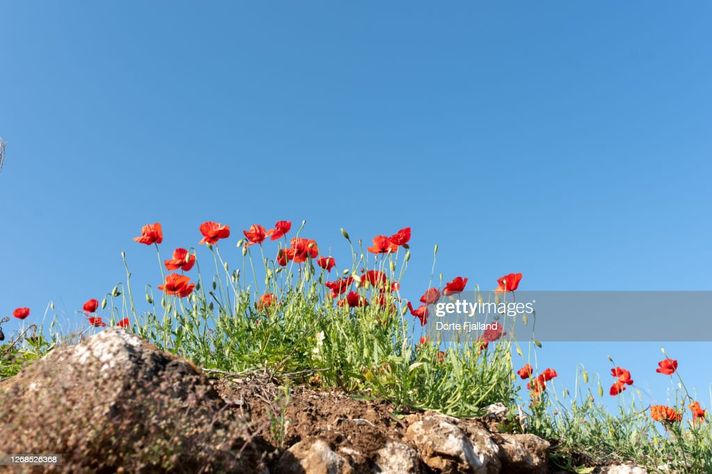 Low angle view of red puppies on rocky ground against a clear blue sky : Foto de stock