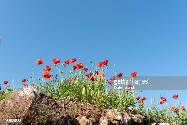low angle view of red puppies on rocky ground against a clear blue sky - dorte fjalland fotografías e imágenes de stock